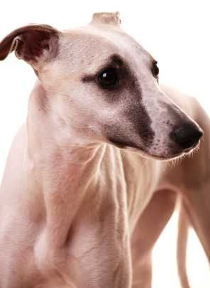 10 Medium to large sized dog breeds for apartment or city dwellers