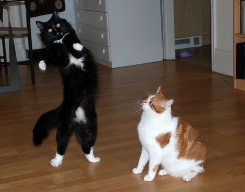 11 Chats venus danser, danser, danser, danser