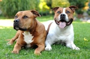 Tempérament américain Staffordshire Terrier