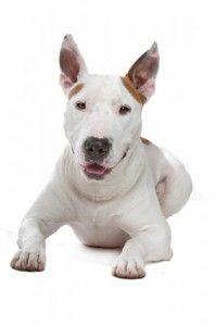 Tempérament Bull-Terrier