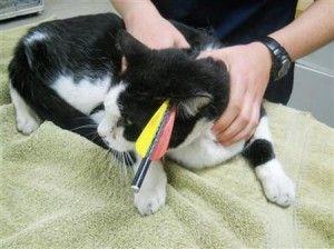 Le chat survit en étant empalé par la flèche