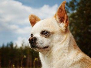 Tempérament de Chihuahua