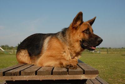 Alerte de berger allemand couché sur la table de parc