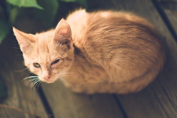 Remèdes à la maison pour les infections oculaires de chat