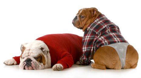 Combien de temps un chien reste-t-il en chaleur?