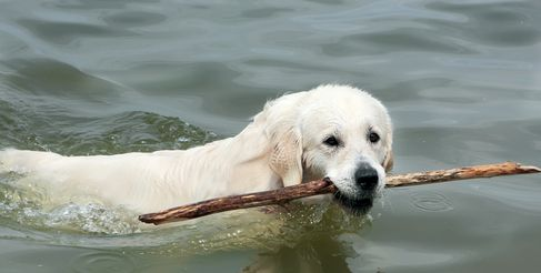 Le chien de laboratoire nage pour le bâton