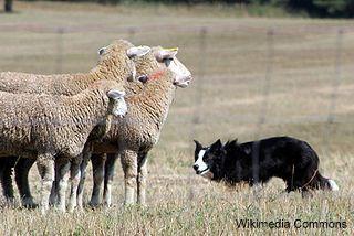 Border Collie Moutons Moutons