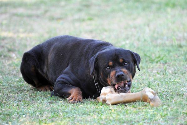Rottweiler en colère avec des os sur la pelouse montrant des signes d`agression alimentaire de chien