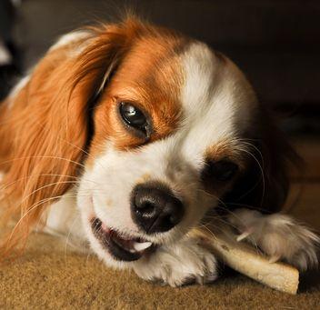 Sérieux roi Charles Cavalier Spaniel avec os montrant l`agression de nourriture pour chiens
