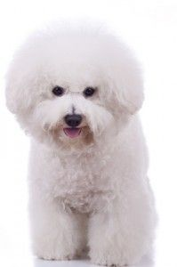 If you ignore the bichon frise temperament, you'll hate yourself later