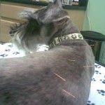 L`acupuncture est-elle efficace chez les animaux domestiques?