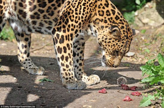 Rat vole le déjeuner du grand chat dans un délicieux acte de chutzpah