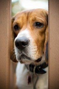 Anxiété de séparation chez les chiens - quels signes et symptômes rechercher?