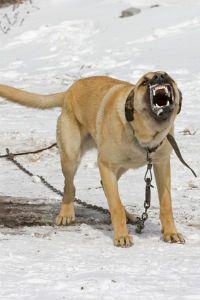 Les 9 races de chien les plus agressives
