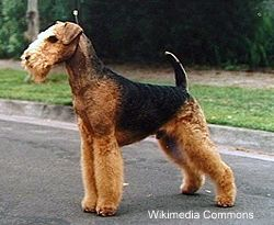 Airedale Terrier Montant vertical
