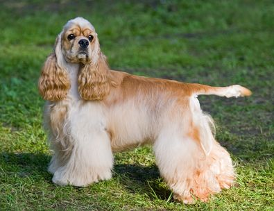 The cocker spaniel temperament – what to expect, and how to deal with it