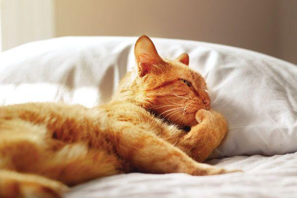 Nous parlons à Morris, le chat de célébrité d`origine