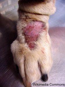 Pourquoi mon chien lèche-t-il constamment ses pattes?