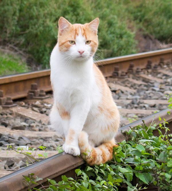 Voulez-vous amener votre chat dans un voyage en train?